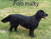 Flat Coated Retriever  št. s PP
